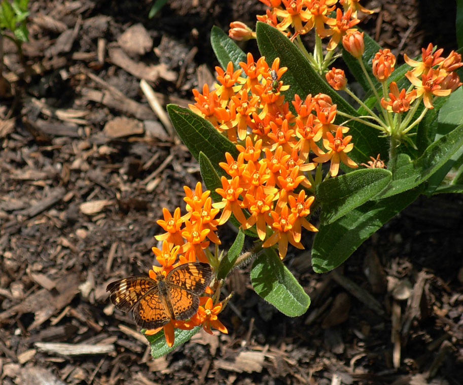 Pearl Crescent on Butterfly Weed in Gempp Waystation 07-18-14